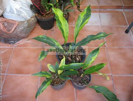Anthurium Wave of Love (golden variegated) 75-100