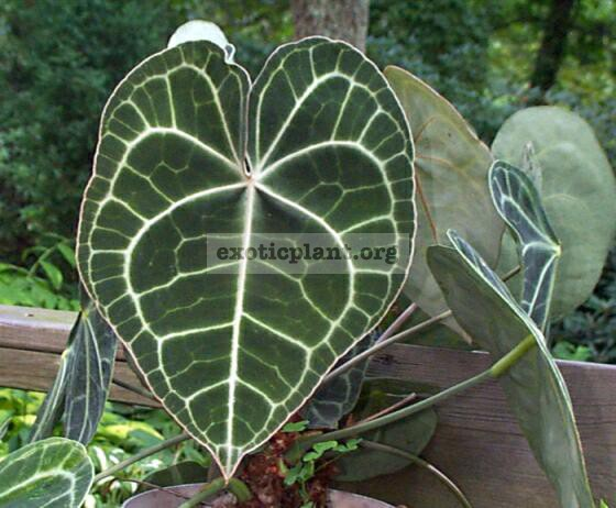 Anthurium clarinervium 30