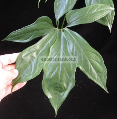 Anthurium clavigerum(juvenile leaf) 30