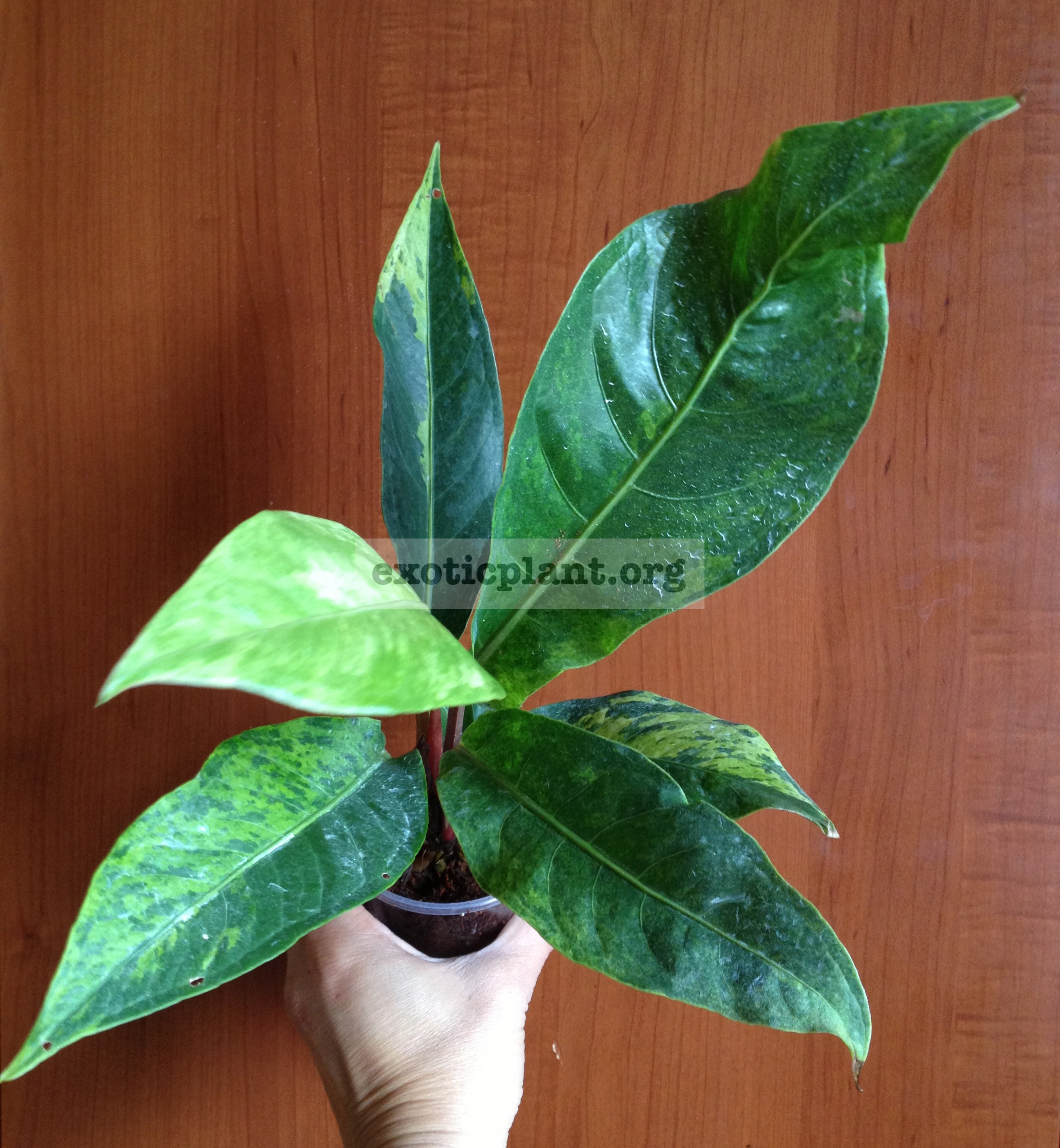 Anthurium hookeri (F1) variegated(T01)34