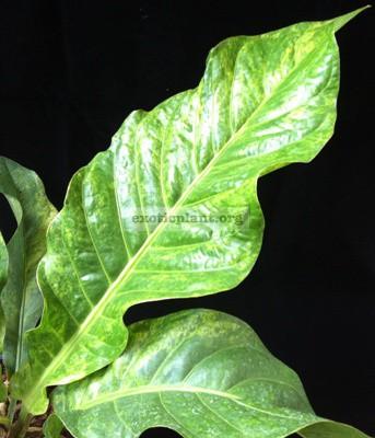 Anthurium hookeri(F1) variegated(MayA) 30