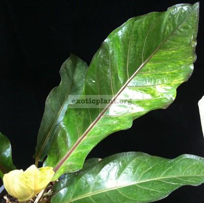 Anthurium hookeri(F1) variegated(MayB) 30