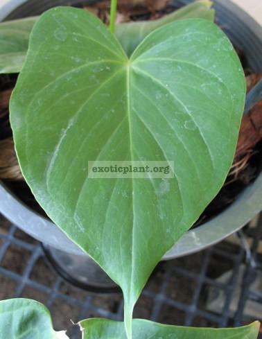 Anthurium hybrid(T02) 55