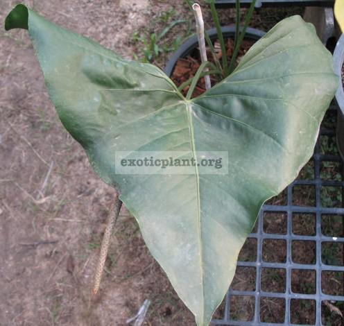 Anthurium hybrid(T06) 75