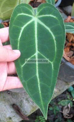 Anthurium magnificum (small size) 44