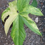 Anthurium pedatoradiatum variegated 150