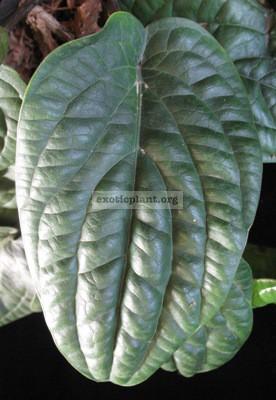 Anthurium radicans 30-44
