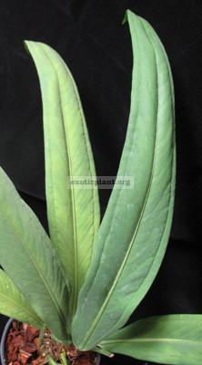 Anthurium sp.(T01) 44