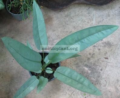 Anthurium sp.(T02)44