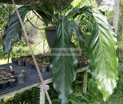 Anthurium spectabile пример взрослого растения