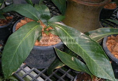 Anthurium spectabile 100