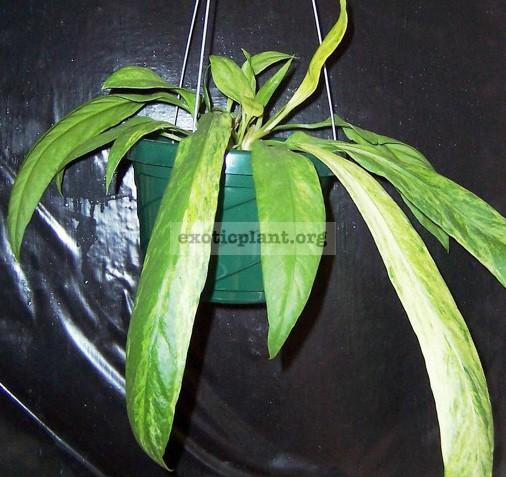 Anthurium vittarifolium variegated 85