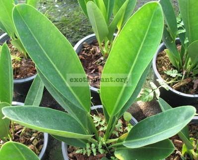 Anthurium willdenowii (exotic plant) 20