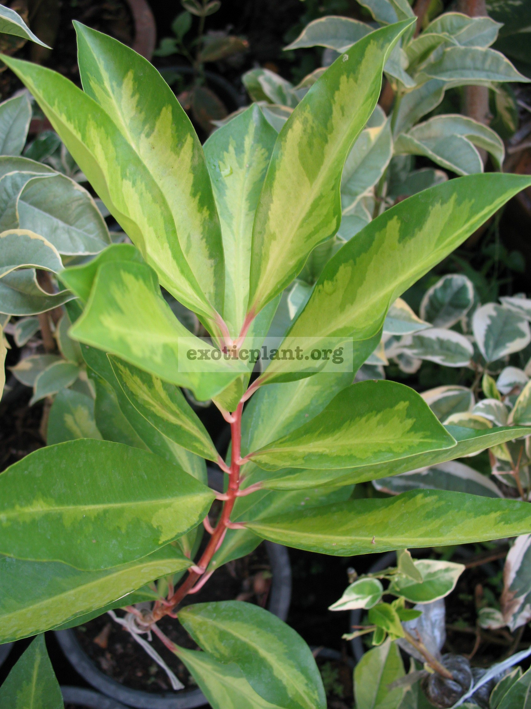 Ardisia elliptica 'Yellow Star' 30