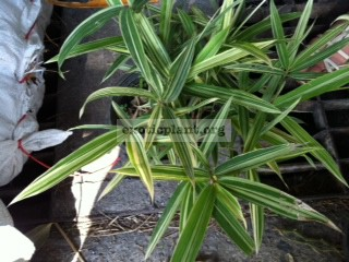 Arundinaria suberecta Dwarf variegated = Bambusa Suberecta 'Jesse Durko' 50