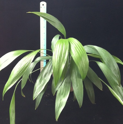 Aspidistra sp (T07)(green form) 23