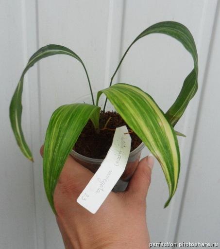 Aspidistra sp.(T07) variegata / аспидистра сп (Т07) вариегатная30