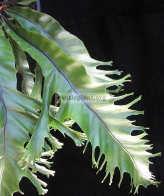 Asplenium nidus Crested(T02) Philippine 40