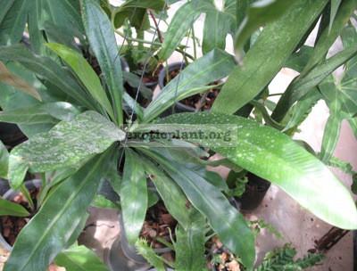 Asplenium nidus Papua new Guinea (thick leaf) 20