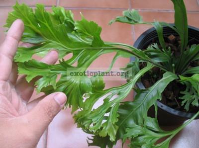 Asplenium nidus cv. Cresteatum (mutation)(L) 45