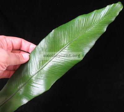 Asplenium nidus cv. Khao Luang (southern Thailand) 35