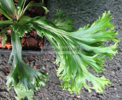 Asplenium nidus hybrid (T02) 48