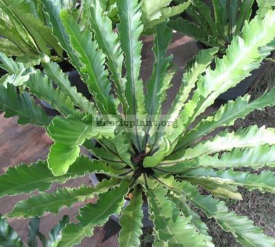 Asplenium nidus (serrate leaf) пример взрослого растения