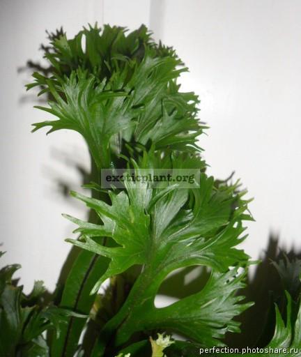 Asplenium scolopendrium Laceratum Kaye 35