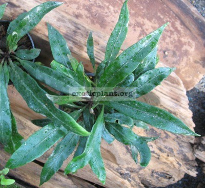Asplenium sp. (black leaf) Papua New Guinea(PNG) 40