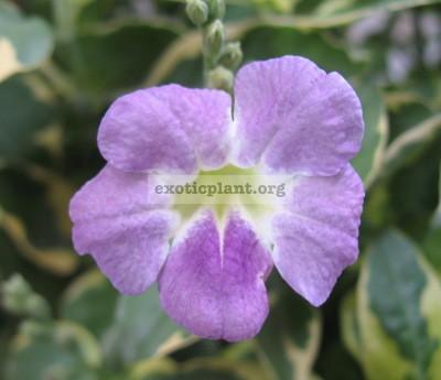Asystasia gangetica Variegata 12