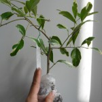 Atalantia monophylla albomarginata (No.2)