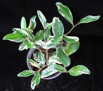Atalantia monophylla albomarginata (grafted) 35