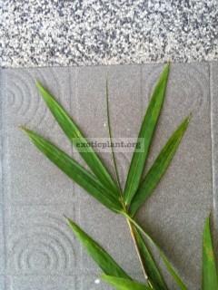 Bambusa blumeana 35