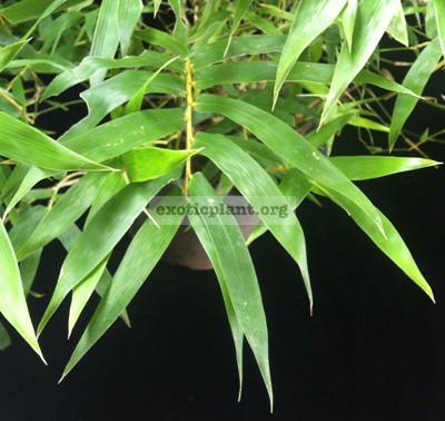 Bambusa ventricosa Super Dwarf 35