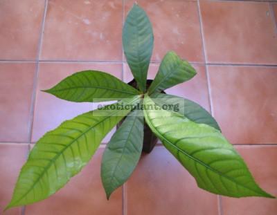 Barringtonia macrostachya Lecythidaceae 30
