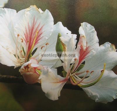 Bauhinia variegata (Australia) 30