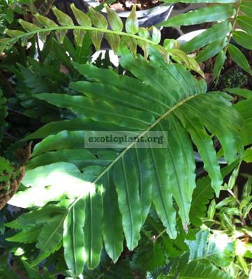 Blechnum 'Rassamichotii'(gibbum x braziliense) 40
