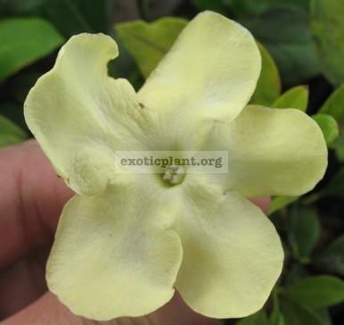 Brunfelsia americana 20