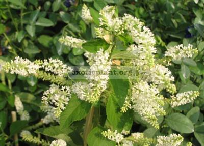 Buddleja paniculata Buddlejaceae 20