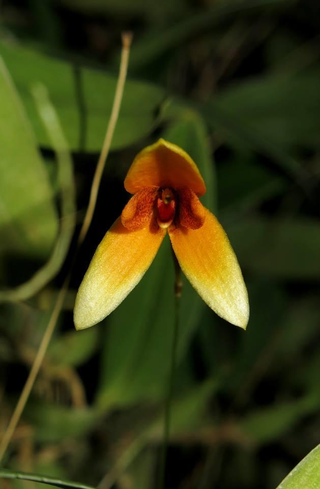 109 Bulbophyllum pardalotum BS 50