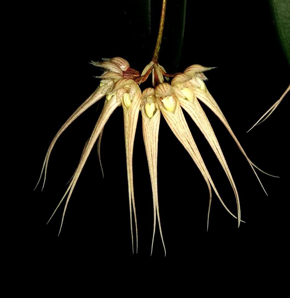 124 Bulbophyllum sanguineopunctatum  yellow  BS 30