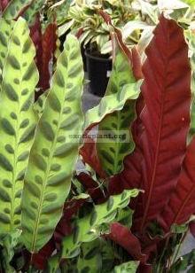 Calathea insignis syn С. lancifolia 20