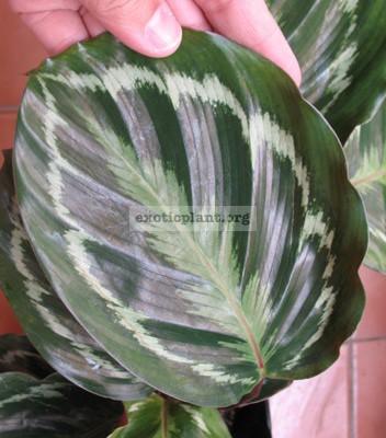Calathea lindeniana 20