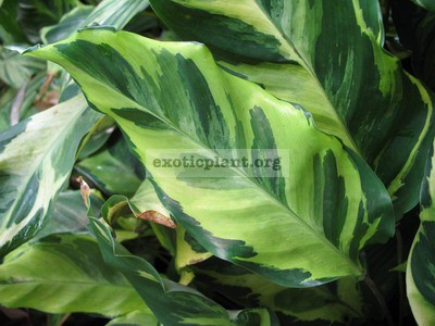 Calathea louisae  Electric shock 23