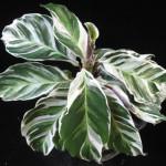 Calathea louisiae 'White Tiger' 23