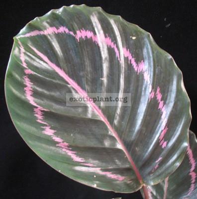 Calathea roseopicta 20