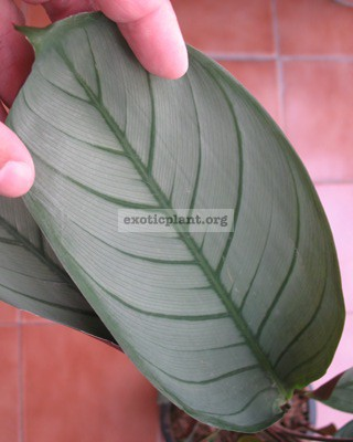Calathea sp.(T02)=  Gray Star  20
