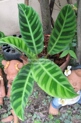 Calathea zebrina  Humilior  25