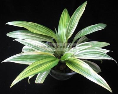 Chlorophytum bichetii variegated 14