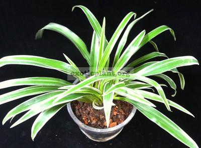 Chlorophytum comosum albomarginata (big leaf) 14